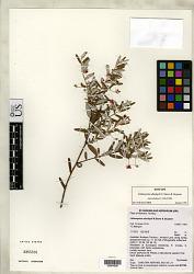 Lithomyrtus dunlopii N. Snow & Guymer