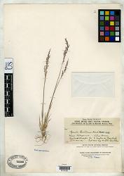Agrostis buchtienii Hack.
