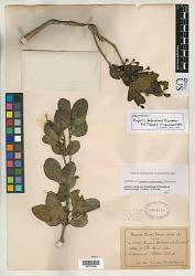 Eugenia bahamensis Kiaersk.
