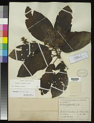 Saurauia pseudorubiformis Buscal.