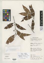 Rhodomyrtus kaweaensis N. Snow