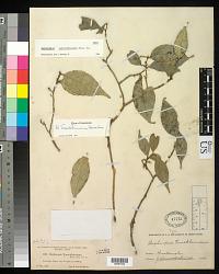 Daphnopsis tuerckheimiana Donn. Sm.