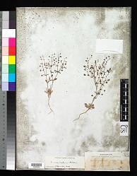 Eriogonum maculatum A. Heller