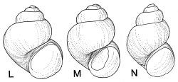 Pyrgulopsis sadai Hershler, 1998