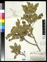 Aglaia vitiensis A.C. Sm.