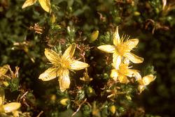 Hypericum prolificum L.