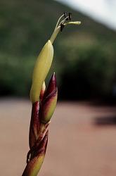 Tillandsia utriculata L.