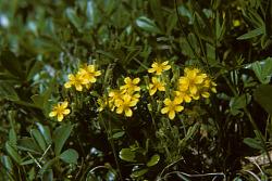 Hudsonia ericoides L.