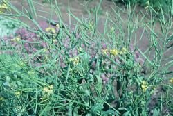 Brassica rapa L.