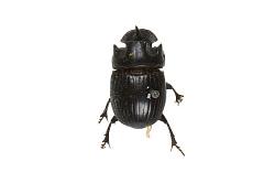 Scarab Beetle, Rhinocercos beetle