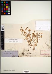 Portulaca halimoides L.