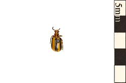 Leaf Beetle, Leaf Beetle