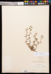 Turnera diffusa Willd. ex Schult.