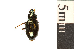 Ground Beetle, Ground Beetle