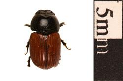 Dung Beetle, Scarab Beetle