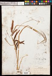 Carex obnupta L.H. Bailey