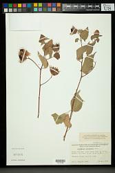 Gossypium davidsonii Kellogg