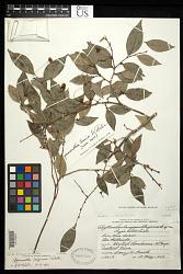 Phyllanthus longipes Steyerm., nom. illeg.