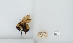 Bombus (Bombus) affinis Cresson