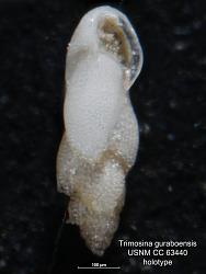 Trimosina guraboensis Bermudez, 1949