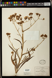 Senecio prionopterus B.L. Rob. & Greenm.