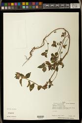 Acalypha arvensis Poepp.
