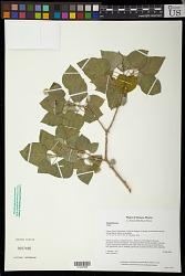 Croton ciliatoglandulifer Ortega