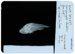 Scorpaenopsis diabolus