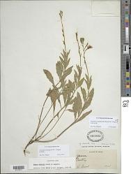 Oenothera hispida (Benth.) W.L. Wagner et al.