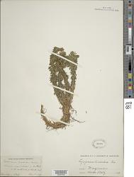 Huperzia lucidula (Michx.) Trevis.