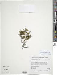 Polyphlebium endlicherianum (C. Presl) Ebihara & K. Iwats.