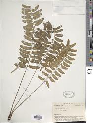 Asplenium tenerum G. Forst.
