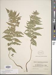Athyrium filix-femina subsp. cyclosorum (Rupr.) C. Chr.