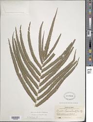 Christella serra (Sw.) Holttum