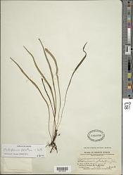 Elaphoglossum glabellum J. Sm.