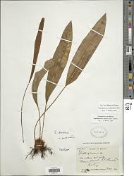 Elaphoglossum xanthopodum Mickel