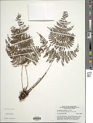 Dryopteris nodosa (C. Presl) Li Bing Zhang