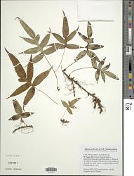 Selliguea stracheyi (Ching) S. L. Yu et al.