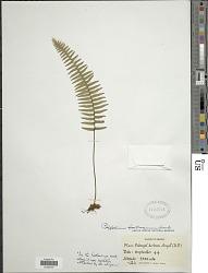 Polypodium hartwegianum Hook.