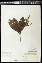 Metrodorea stipularis Mart.
