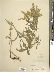 Solidago canadensis var. salebrosa (Piper) M.E. Jones