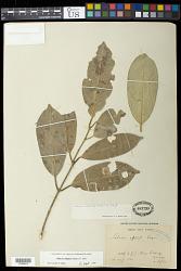 Salacia elliptica (Mart. ex Schult.) G. Don
