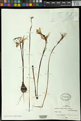 Rhodophiala bifida (Herb.) Traub