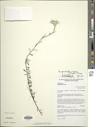 Anaphalis mariae F. Muell.
