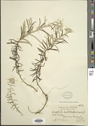 Anaphalis contorta (D. Don) Hook. f.