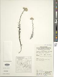 Anaphalis mariae f. mariae