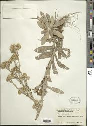 Anaphalis adnata DC.