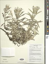 Anaphalis hellwigii Warb.