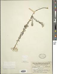 Anaphalis mariae f. alba J. Kost.
