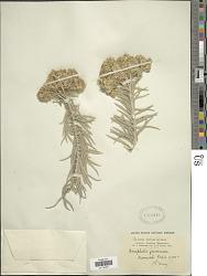 Anaphalis javanica (Reinw. ex Blume) Sch. Bip.